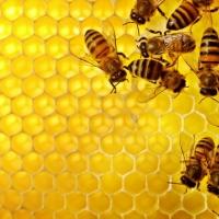 Royal Jelly นมผึ้ง
