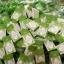 ขายสบู่ชาเขียว BFC หน้าใส ลดสิว (BFC Greentea Whitening Gluta Soap) thumbnail 11