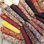 ข้าวโพดสีรุ้ง - Ornamental Indian Corn 20 เมล็ด