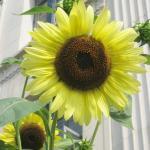 ทานตะวันเลม่อนควีน - Lemon Queen Sunflower 20 เมล็ด