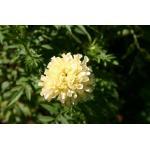 ดาวเรืองสีขาว - Kilimanjaro African Marigold 15 เมล็ด