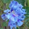 มอร์นิ่งกลอรี่ดวงตาสเปนสีฟ้า - HIGE Blue Spanish Eyes Morning Glory