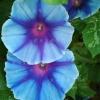 มอร์นิ่งกลอรี่บิ๊กบลูแลนเทิร์น - Big Blue Lantern Morning Glory
