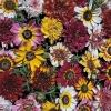 เบญจมาศซัมเมอร์เฟสติวัล - Summer Festival Chrysanthemum