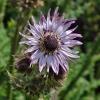 ทานตะวันสีม่วง - Purple Sunflower (หายาก)