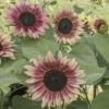 ทานตะวันสตรอเบอรี่บลอนด์ F1 - Strawberry Blonde F1 Sunflower