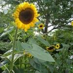 ทานตะวันไจแอ้นท์ซิงเกิล - Giant Single Sunflower
