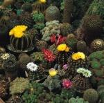 กระบองเพชรพันธุ์ใหญ่คละชนิด - Great Cactus Crown Mixed