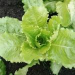 ผักสลัดบัตตาเวีย - Batavian Lettuce