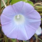 มอร์นิ่งกลอรี่ลาเวนเดอร์ - Lavender Morning Glory