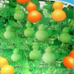 น้ำเต้าจิ๋วซองดั้งเดิม - Little Bottle Gourd 20 เมล็ด