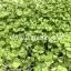 Basil Micro-Greens อิตาเลี่ยนเบซิล โหระพาฝรั่ง thumbnail 2