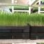 ถาดเพาะต้นอ่อนทานตะวัน (ไม่มีรู) ถาดเพาะกล้าสีดำ ถาดพลาสติก thumbnail 8