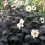 รักเร่ก้านใบสีดำ - Mixed Bronze Foliage Dahlia thumbnail 3