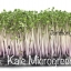 Red kale microgreen thumbnail 1