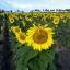 ทานตะวันนกจาบขาว - White Meadow Bunting Sunflower thumbnail 3