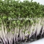 Red kale microgreen thumbnail 2