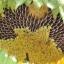 ทานตะวันนกจาบขาว - White Meadow Bunting Sunflower thumbnail 2