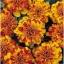 ดาวเรืองโบเลโร่ - Bolero Marigold ซองดั้งเดิม 100 เมล็ด thumbnail 2