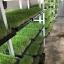 ต้นอ่อนข้าวสาลี ต้นอ่อนข้าวสาลีตัดสด Wheatgrass 1 Kg. thumbnail 7