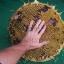 ทานตะวันเกรย์สตริป - Grey Strip Sunflower thumbnail 4