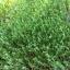 เมล็ดโต้เหมี่ยว โต้เหมี่ยว โต้วเหมี่ยว ถั่วลันเตาเมล็ดเหลือง Yellow Pea foe sprout สำเนา thumbnail 6