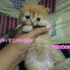 น้องแมวเปอร์เซีย