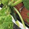 ชุดปลูกเมล่อน , มะเขือเทศ , แตงกวาญี่ปุ่น (hydroponics set)