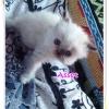 น้องแมวเปอร์เซียน่ารัก