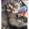 น้องแมวเปอร์เซียหน้าตุ๊กตา