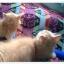 น้องแมวเปอร์เซียหน้าตุ๊กตา thumbnail 10