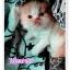 น้องแมวเปอร์เซียน่ารัก thumbnail 1
