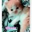 น้องแมวเปอร์เซียน่ารัก thumbnail 4
