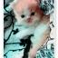 น้องแมวเปอร์เซียน่ารัก thumbnail 6