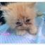 น้องแมวเปอร์เซียหน้าตุ๊กตา thumbnail 2