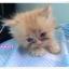 น้องแมวเปอร์เซียหน้าตุ๊กตา thumbnail 3