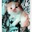 น้องแมวเปอร์เซียน่ารัก thumbnail 3