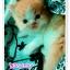 น้องแมวเปอร์เซียน่ารัก thumbnail 5