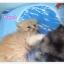 น้องแมวเปอร์เซียหน้าตุ๊กตา thumbnail 9