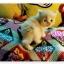 น้องแมวเปอร์เซียน่ารัก thumbnail 9