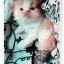 น้องแมวเปอร์เซียน่ารัก thumbnail 2