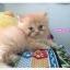 น้องแมวเปอร์เซียหน้าตุ๊กตา thumbnail 12