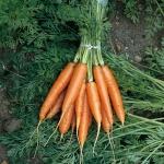Carrot Early Nantes - แครอทเออร์ลี่