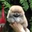 ปอมหน้าหมี เพศผู้ หน้าสั้น ขาใหญ่ สายเลือดดี ขนสวย อายุ 2 เดือนครับ ...แนะนำเข้าชมตัวจริงได้ที่ ลาดพร้าว 101 แยก 46 นัดล่วงหน้าอย่างน้อย 1-2 ชม. ได้ที่ Line : @heropom Tel : 0890888441 นะครับ thumbnail 5