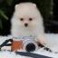 ปอมหน้าหมี เพศผู้ สีครีม หน้าสั้น ขาใหญ่ สายเลือดดี ขนสวย อายุ 2 เดือนครับ ...แนะนำเข้าชมตัวจริงได้ที่ ลาดพร้าว 101 แยก 46 นัดล่วงหน้าอย่างน้อย 1-2 ชม. ได้ที่ Line : @heropom Tel : 0890888441 นะครับ thumbnail 1