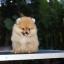 ปอมหน้าหมี เพศผู้ หน้าสั้น ขาใหญ่ สายเลือดดี ขนสวย อายุ 2 เดือนครับ ...แนะนำเข้าชมตัวจริงได้ที่ ลาดพร้าว 101 แยก 46 นัดล่วงหน้าอย่างน้อย 1-2 ชม. ได้ที่ Line : @heropom Tel : 0890888441 นะครับ thumbnail 4