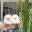 ปอมหน้าหมี เพศผู้ สีขาว หน้าสั้น ขาใหญ่ สายเลือดดี ขนสวย อายุ 2 เดือนครับ ...แนะนำเข้าชมตัวจริงได้ที่ ลาดพร้าว 101 แยก 46 นัดล่วงหน้าอย่างน้อย 1-2 ชม. ได้ที่ Line : @heropom Tel : 0890888441 นะครับ thumbnail 11