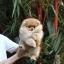 ปอมเมอเรเนียน เพศผู้ สีส้ม อายุ 2 เดือน ขาใหญ่ ขนแน่นฟู ทรงสั้นสวย ...แนะนำเข้าชมตัวจริงได้ที่ ลาดพร้าว 101 แยก 46 นัดล่วงหน้าอย่างน้อย 1-2 ชม. ได้ที่ Line : @heropom Tel : 0890888441 นะครับ thumbnail 2