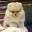 ปอมหน้าหมี เพศผู้ อายุ 2 เดือน สีส้ม ขาใหญ่ ขนแน่นฟู ทรงสั้นสวย ...แนะนำเข้าชมตัวจริงได้ที่ โชคชัย 4 ซ 36 นัดล่วงหน้าอย่างน้อย 1-2 ชม. ได้ที่ Line : @heropom Tel : 0890888441 นะครับ thumbnail 3
