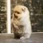 ปอมหน้าหมี เพศผู้ หน้าสั้น ขาใหญ่ สายเลือดดี ขนสวย อายุ 2 เดือนครับ ...แนะนำเข้าชมตัวจริงได้ที่ ลาดพร้าว 101 แยก 46 นัดล่วงหน้าอย่างน้อย 1-2 ชม. ได้ที่ Line : @heropom Tel : 0890888441 นะครับ thumbnail 7